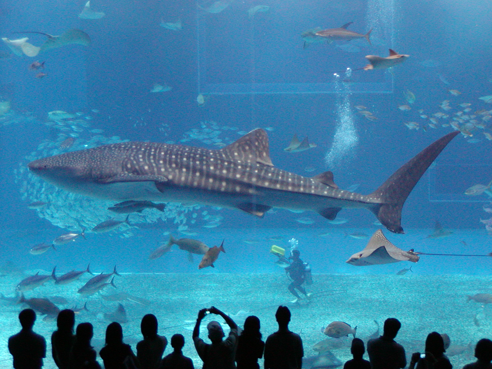 Whale Sharks. They are not sharks, or from wales.